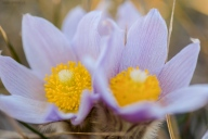 20170408-Crocuses-060-Edit